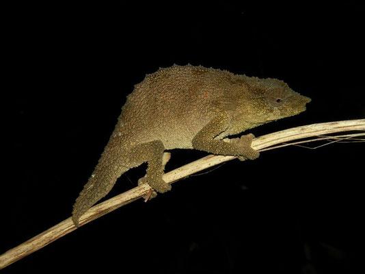 Mulanje Pygmy Chameleon (Rhampholeon platyceps)
