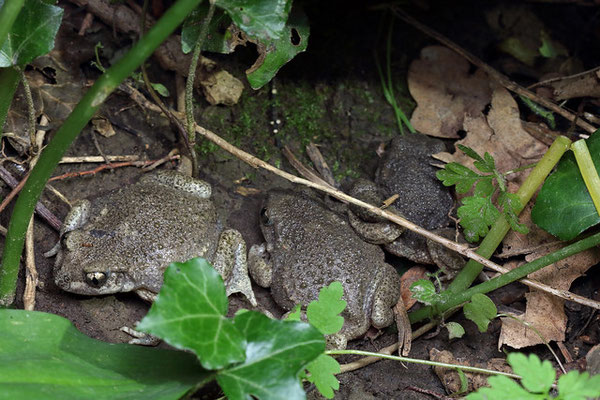 Midwife Toads (Alytes obstetricans) amting ball which broke up shortly before the picture sadly.