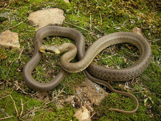 Aesculapian Snake (Zamenis longissimus) juvenile, Bulgarian Black Sea Coast, October 2014
