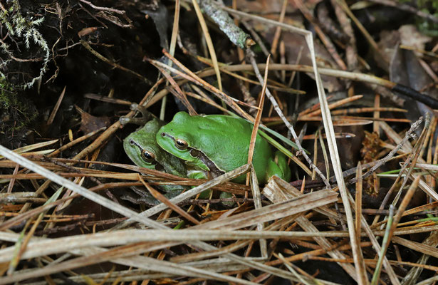 Tree Frog (Hyla arborea) couple in amplexus