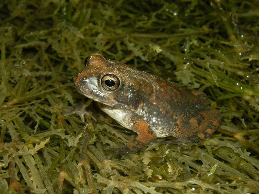 Arabian Toad (Sclerophrys arabica)