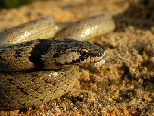 False Smooth Snake (Macroprotodon brevis), Murcia, Spain, May 2012
