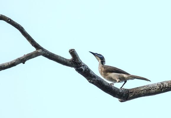 Helmeted Friarbird (Philemon buceroides) © Jasper Boldingh