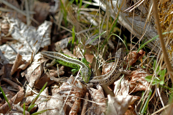 Courting Sand Lizards (Lacerta agilis)