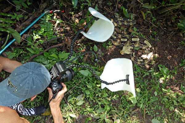 Gaboon Viper photography