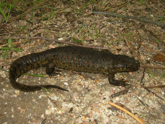 Sharp-ribbed Newt (Pleurodeles waltl)