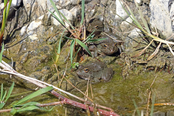 Levant Water Frogs (Pelophylax bedriagae cerigensis)