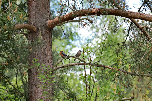 Bullfinch (Pyrrhula pyrrhula) couple