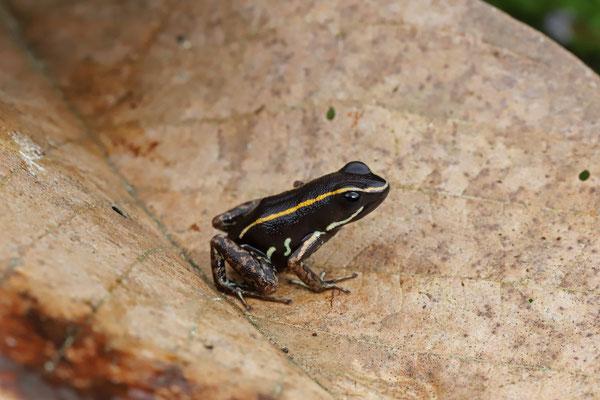 Striped Poison Dart Frog (Phyllobates lugubris)