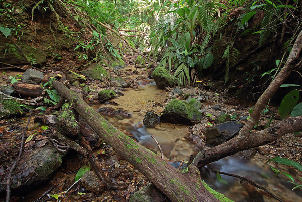 These streams are prime habitat for Glass Frogs, Copan Brook Frogs and Eyelash Palm Pitvipers.
