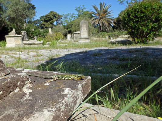 Maltese Wall Lizard (Podarcis filfolensis) in habitat.