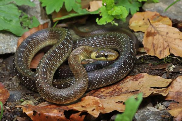 Aesculapian Snake (Zamenis longissimus) subadult