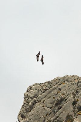 Black Vultures (Aegypius monachus)