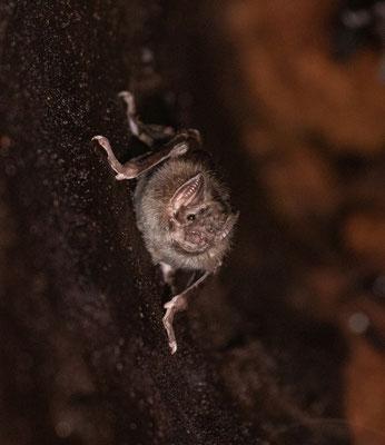 Common Vampire Bat (Desmodus rotundus) © Jasper Boldingh