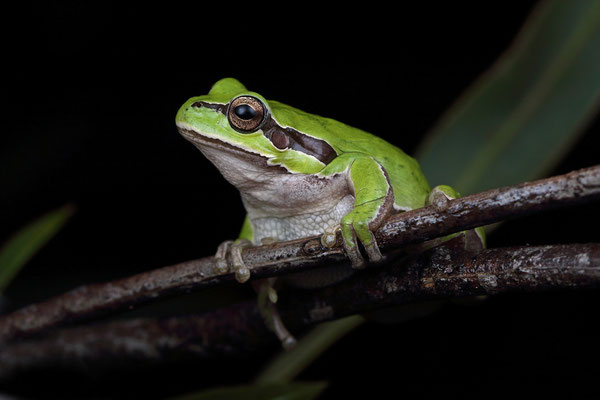 Lemon-yellow Tree Frog (Hyla savignyi)