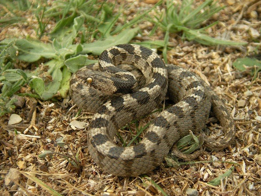 Catsnake (Telescopus fallax), Peloponnese, Greece, October 2012