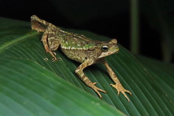 Green Climbing Toad (Incilius coniferus)
