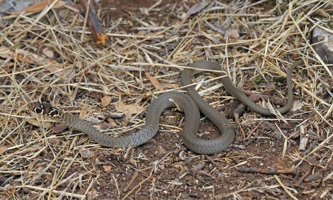 Western Whip Snake (Hierophis viridiflavus) juvenile