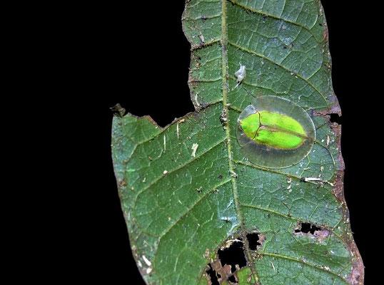 Tortoise Beetle (Cassidinae)