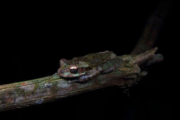 Common Mexican Treefrog (Smilisca baudinii)