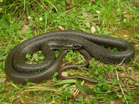 Black Whip Snake (Dolichophis jugularis)