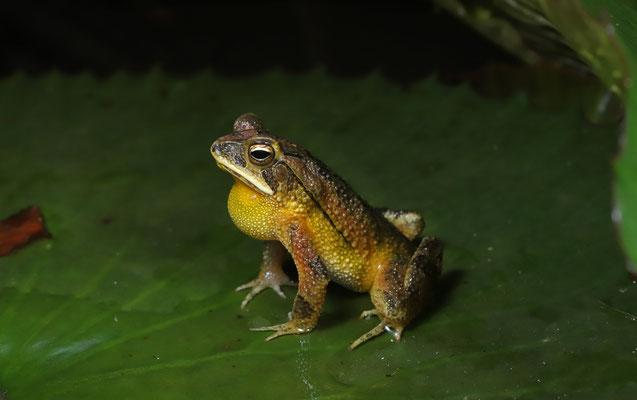 Dwarf Toad (Incilius canaliferus) calling male