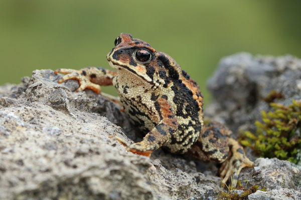 Bocourt's Toad (Incilius bocourti)