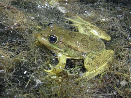 Epirus Water Frog (Pelophylax epeiroticus)