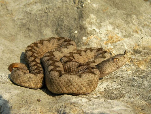 Nose-horned Viper (Vipera ammodytes), Austria, July 2012