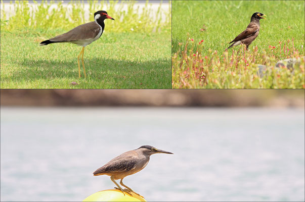 Khor Kalba bird impression. Clockwise: Red-wattled Lapwing, Common Mynah and Night Heron.