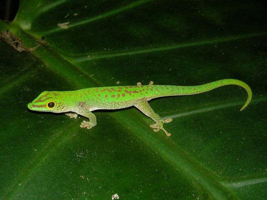 Seychelles Small Day Gecko (Phelsuma astriata)