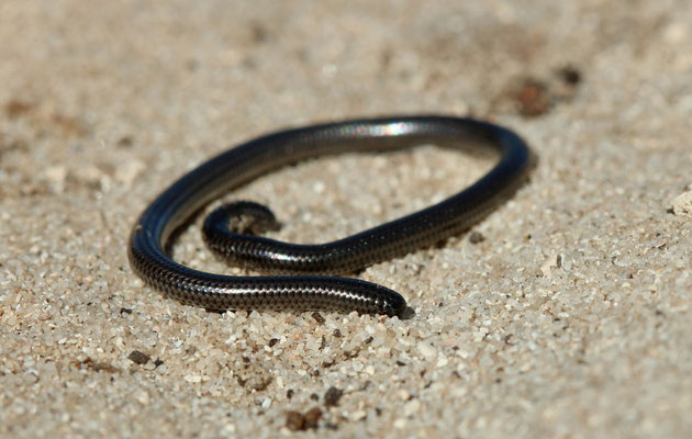 Black Thread Snake (Leptotyphlops nigricans)