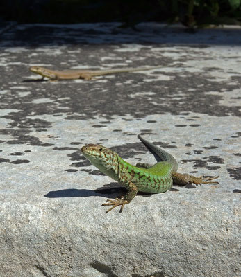 Maltese Wall Lizards (Podarcis filfolensis) couple