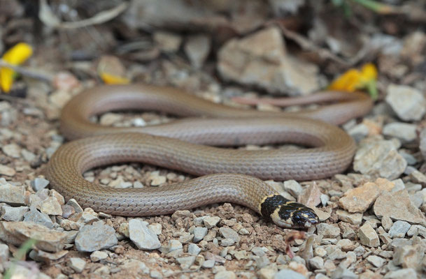 Roth's Dwarf Snake (Eirenis rothi)