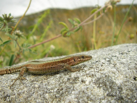 Bocage's Wall Lizard (Podarcis bocagei), Galicia, Spain, May 2012