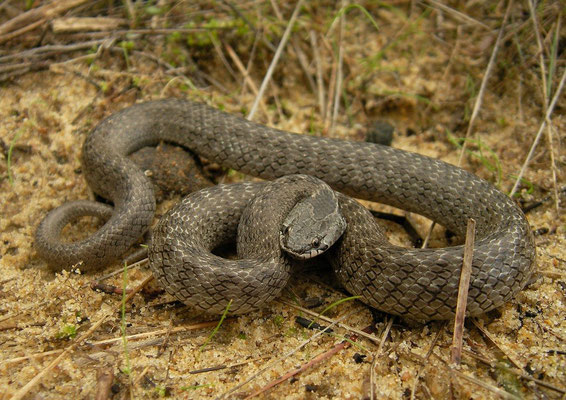 False Smooth Snake (Macroprotodon brevis), Coto Doñana, Spain, December 2010