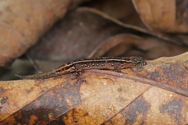 Leaf-litter Gecko (Lepidoblepharis xanthostigma)