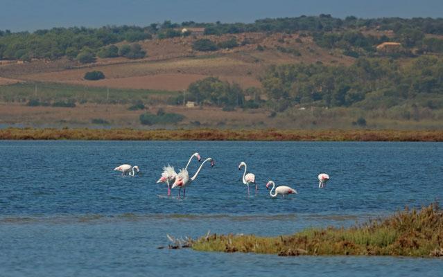 Greater Flamingos (Phoenicopterus roseus) arguing.
