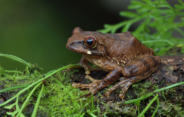 Kivu Tree Frog (Leptopelis kivuensis)