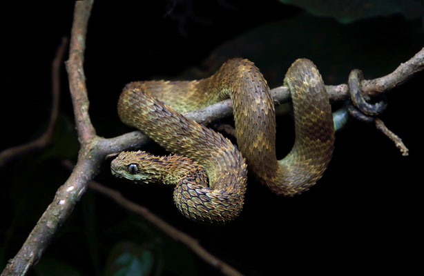 Rough-scaled Bush Viper (Atheris hispida)