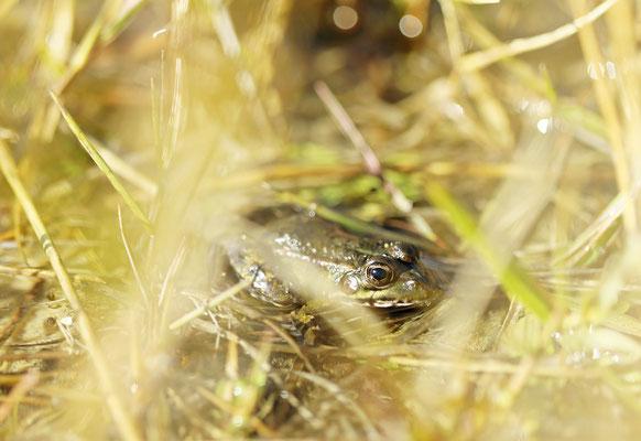 Iberian Water Frog (Pelophylax perezi)