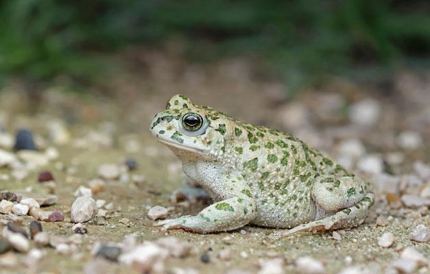 Green Toad (Bufotes viridis balearicus)