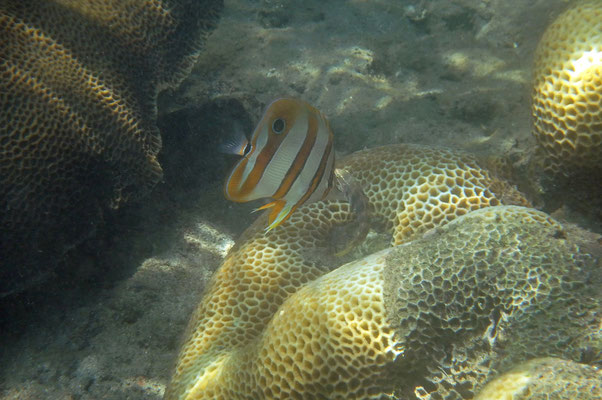 Copperband Butterflyfish (Chelmon rostratus