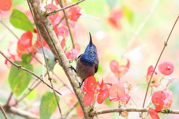 Seychelles Sunbird (Cinnyris dussumieri) male showing its bright iridescent throat colouration.