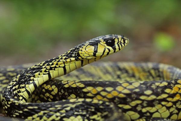 Chicken Snake (Spilotes pullates)