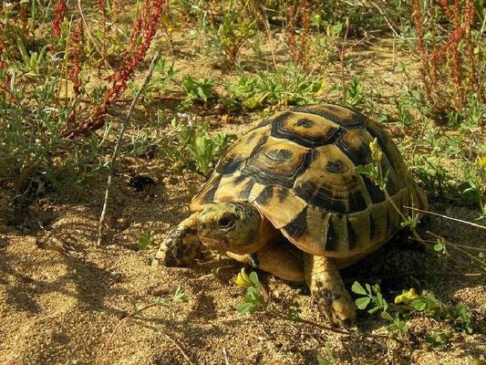 Spur-thighed Tortoise (Testudo graeca nabeulensis), Sardinia, Italy, May 2011