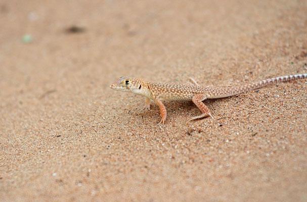 Schmidt's Fringe-toed Lizard (Acanthodactylus schmidti)