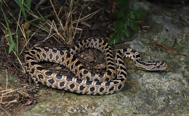 Green Rat Snake (Senticollis triaspis) juvenile