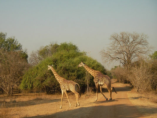 Rhodesian Giraffes (Giraffa camelopardalis thornicrofti) crossing the road