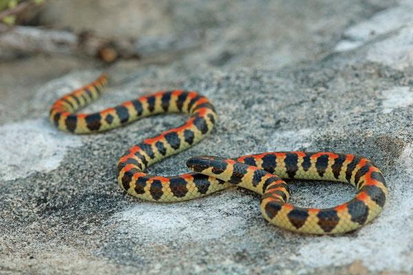 Spotted Harlequin Snake (Homoroselaps lacteus)